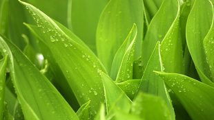 Green leaves after rain